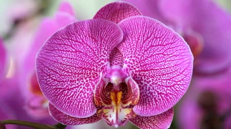 phalaenopsis : Beautiful pink orchid flower (Phalaenopsis). Royalty free stock photo in no time. Close up of multi-colored tropical orchid flower in garden