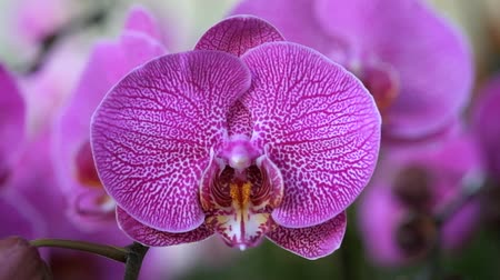 Beautiful pink orchid flower (Phalaenopsis). Royalty free stock photo in no time. Close up of multi-colored tropical orchid flower in garden