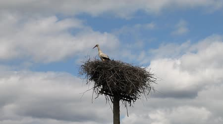 bird eye : Stork in nest.