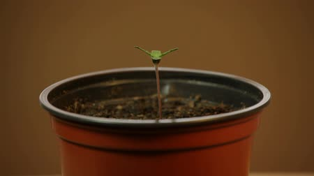 planta de interior : Cannabis plant seedling in pot, moving in wind. Stock Footage