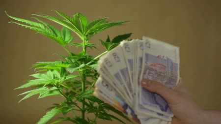 dispensary : Cannabis business concept. Closeup of Cannabis plant and hand showing banknotes in British currency.  Stock Footage