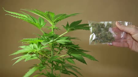 dispanser : Cannabis plant and hand holding bag with dried Marijuana.
