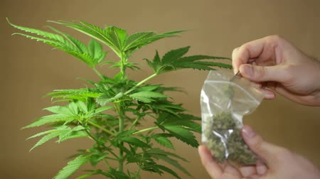 dispanser : Cannabis plant and hand holding dried Marijuana buds.