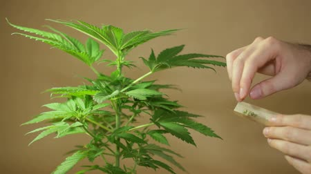 dispensary : Cannabis plant and hands rolling Marijuana joint.