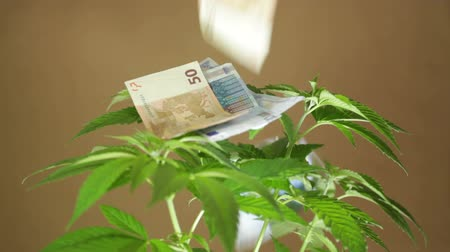 dispensary : Marijuana business concept. Closeup of Cannabis plant and Euro banknotes falling down.