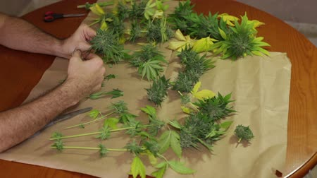 конопля : Hands trimming and manicuring harvested marijuana buds on the table.