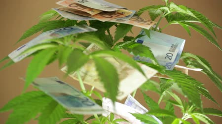 dispensary : Marijuana business concept. Closeup of Cannabis plant with Euro banknotes.