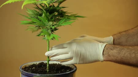 possession : Hands touching stem of Cannabis plant in flowerpot.