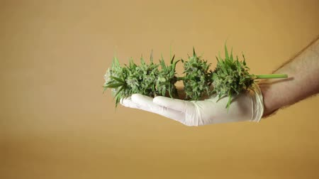 конопля : Hands showing harvested marijuana buds.