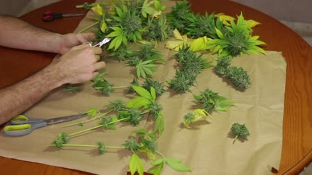 planta de interior : Hands trimming and manicuring harvested marijuana buds on the table.