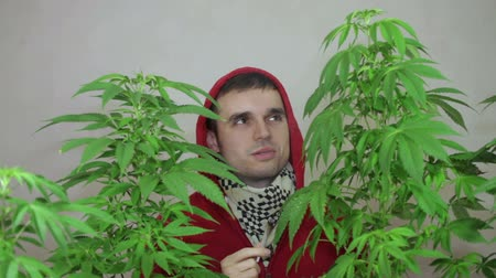 possession : Man in hoodie smoking Marijuana joint and growing Cannabis plant. Stock Footage