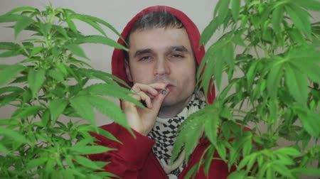 possession : Close up of man in hoodie smoking Marihuana joint and growing Cannabis plant.