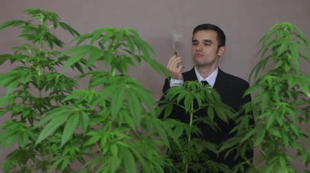 possession : Businessman with Cannabis plants checking Marijuana product. Stock Footage