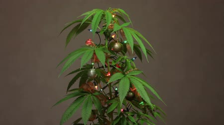 ot : Cannabis Christmas tree, decorated plant with lights.