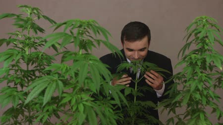 smell : Satisfied businessman smelling and touching Cannabis plants.