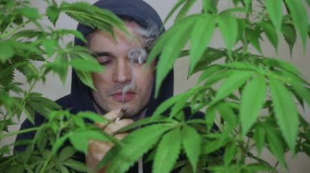 stoned : Satisfied man smoking marijuana joint and touching Cannabis plants.