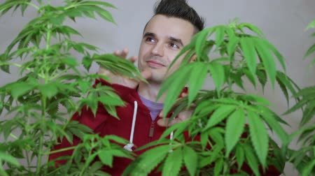 possession : Happy punker touching his cultivated Cannabis plants.