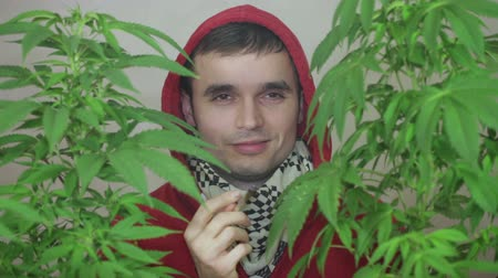 stoned : Stoned man in hoodie enjoying Marijuana joint behind Cannabis plants.