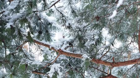 heavy snow fall during winter time in Europe with pine tree as a background