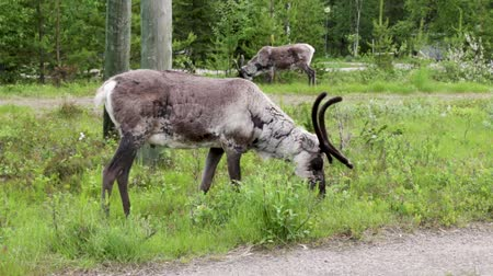 sob : Reindeers eating grass on a sunny summer day at Luosto, northern Finland