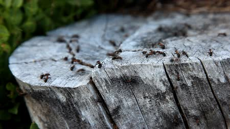 муравей : Ant colony working together