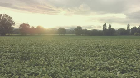 никотин : Tobaccos field at sunset, aerial view graded, full hd, h264. Стоковые видеозаписи