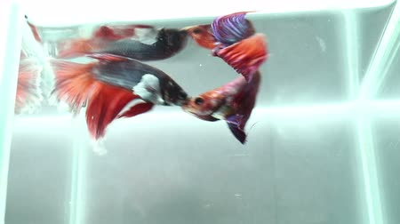 fly fish : Betta fighting fish are fighting Stock Footage