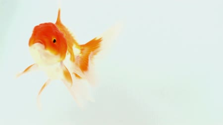 золотая рыбка : gold fish on isolated background