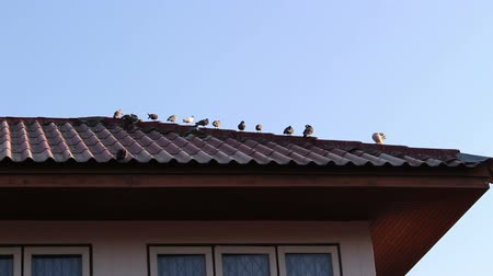 pigeon nest : Pigeons Standing On The Roof home