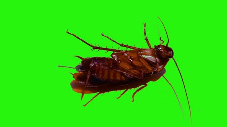 gafanhoto : Cockroaches on isolated green screen