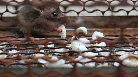 rodent control : rat in cage Stock Footage