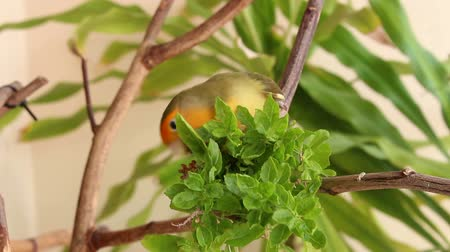 cauda : love bird eating food
