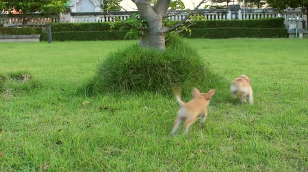 мини : chihuahua dog in garden