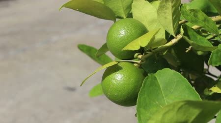 sections : green lemons in the wind
