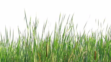 cattail : Cattail tree on isolated Stock Footage