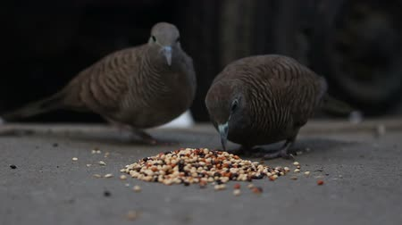 Zebra Dove Birds Are Eating Food