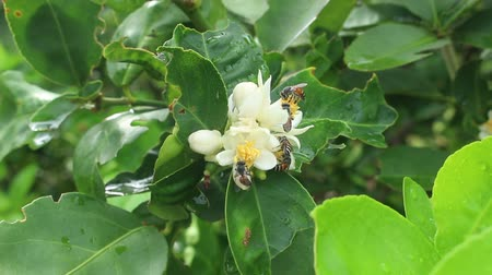 Bees swarming lemon flower
