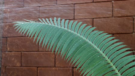 furl : Exotic tropical ferns with shallow depth of field (dof) in Thailand. Stock Footage