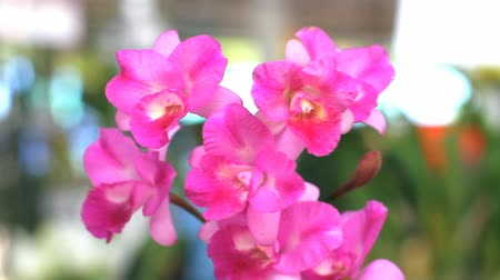 dendrobium : Cattleya pink orchid Stock Footage