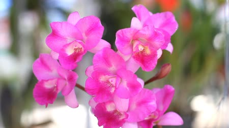 dendrobium : Beautiful pink flowers,