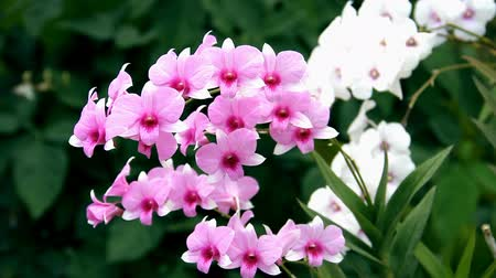 dendrobium :  Pink Orchid Flowers isolated on nature.Dendrobium orchid. Stock Footage