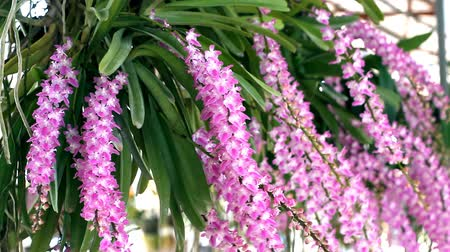 dendrobium : Aerides rosea Lodd. ex Lindl. & Paxton. Orchid purebred Stock Footage