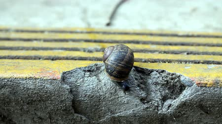 salyangoz : Snail Crawling on Cement Drawing into Shell and Out