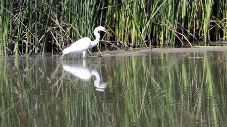 kamış : White Egret Hunting And Eating In Water And Reeds