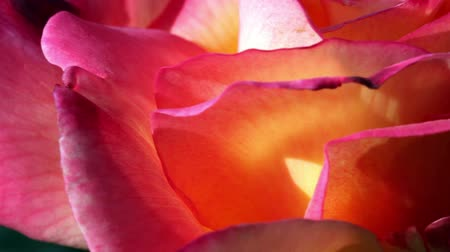 Роуз : Closeup Outdoors Rose In Sunlight Moving With Breeze