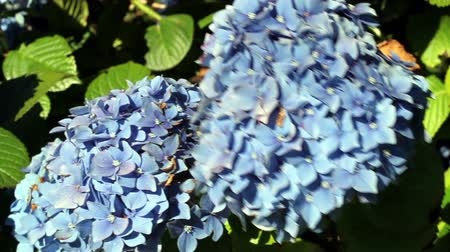 ortanca : Hydrangea Flowers Moving In Wind Green Leaves Stok Video