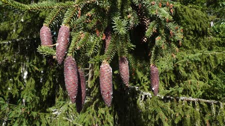 колебание : Spruce branches with cones swinging in the wind in slomo on midsummer afternoon in Western Finland. Стоковые видеозаписи