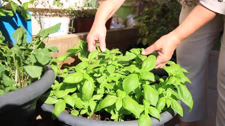 терраса : adult hand holding fresh green basil plants in a farm Стоковые видеозаписи