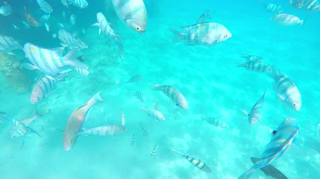 cristalino : Tourists snorkeling with exotic fishes in the crystal clear waters of israel red sea Vídeos