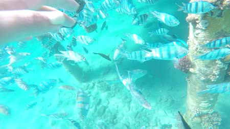 keşfetmek : Beautiful aquatic sport, diver feeding fish and discover underwater wildlife Stok Video